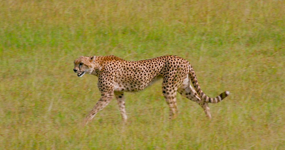 Female cheetah walking, Maasai Mara, Kenya, Africa - 1130-4779