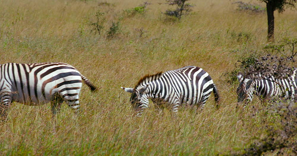 Burchell's zebra walking trough grass, Nairobi, Kenya, Africa
