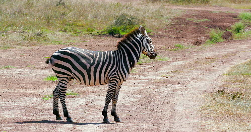 Single burchell's zebra on track, Nairobi, Kenya, Africa