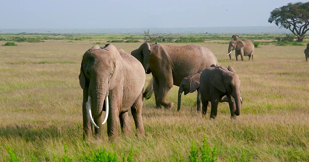 Herd of African elephants walking, Amboseli, Kenya, Africa - 1130-4933