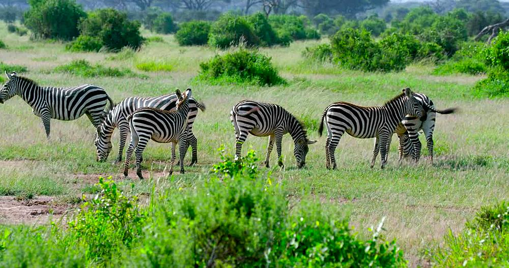 Burchell zebra grazing, Amboseli, Kenya, Africa - 1130-4943