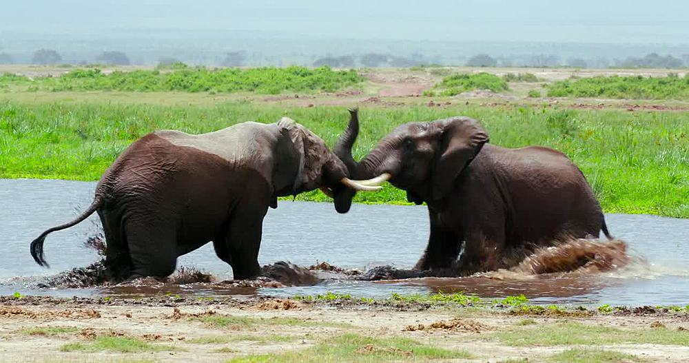 Two African elephants sparring in water, Amboseli, Kenya, Africa