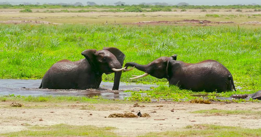 African elephants sparring in water, Amboseli, Kenya, Africa - 1130-4982