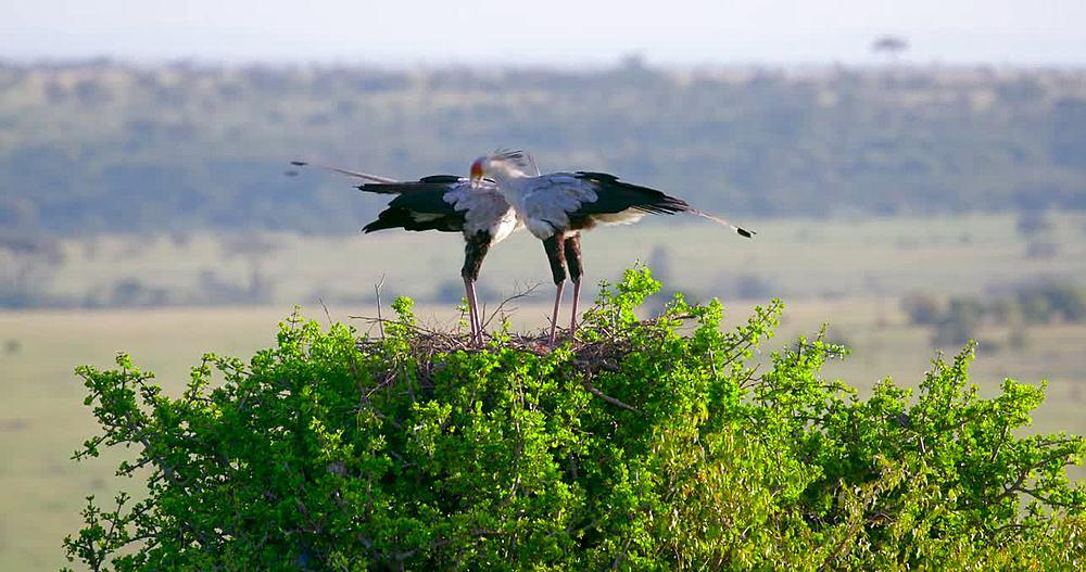 Secretarybirds on nest; Maasai Mara, Kenya, Africa
