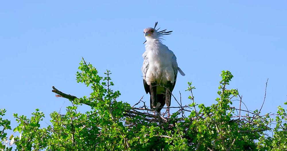 Secretarybird on nest; Maasai Mara, Kenya, Africa