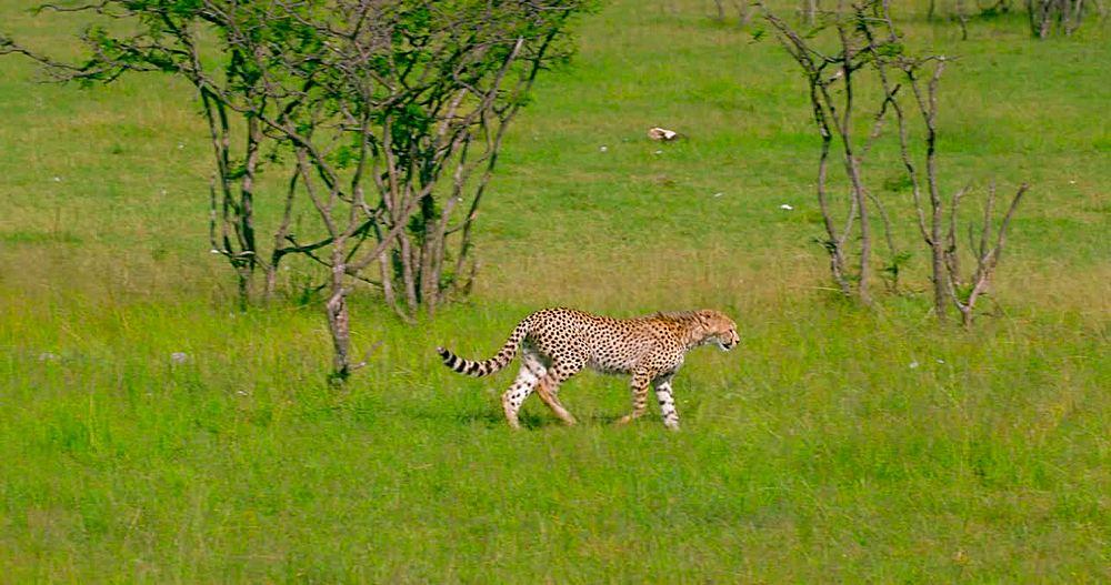 Cheetah cub walking; Maasai Mara, Kenya, Africa - 1130-5113