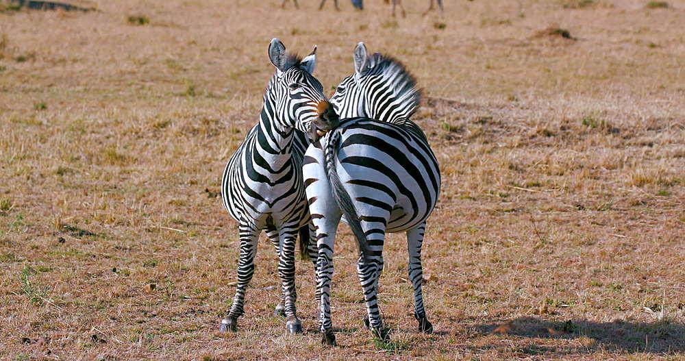 Burchell's Zebras Grooming, Maasai Mara, Kenya, Africa