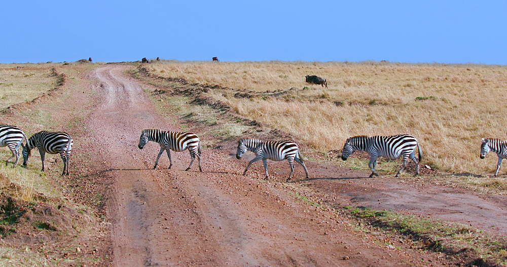 Burchell's Zebras Crossing Track, Maasai Mara, Kenya, Africa