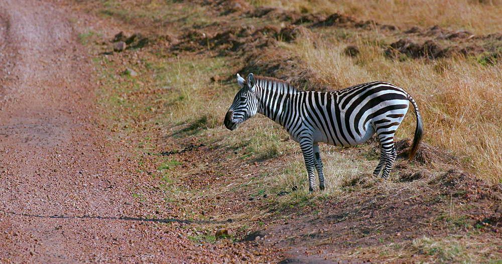 Burchell's Zebra Crosses Track, Maasai Mara, Kenya, Africa