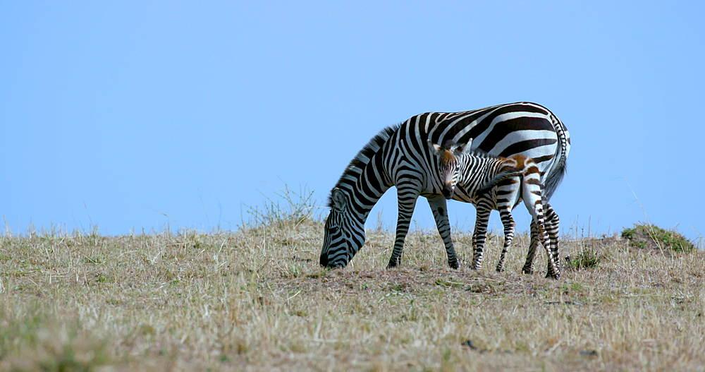 Burchell's Zebra & Foal, Maasai Mara, Kenya, Africa