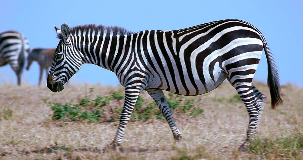 Young Burchell's Zebra Walking, Maasai Mara, Kenya, Africa