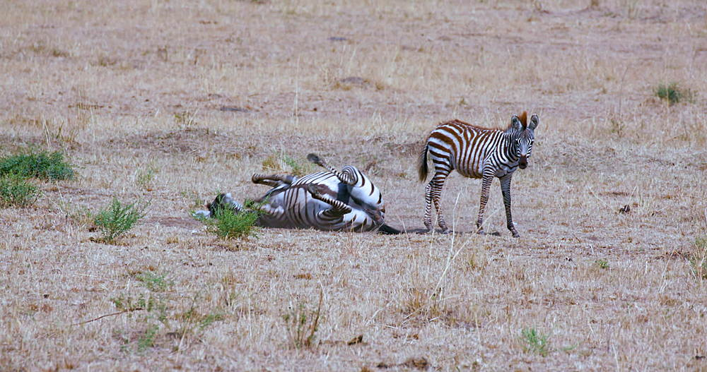 Burchell's Zebra & Foal Roll in Dust, Maasai Mara, Kenya, Africa