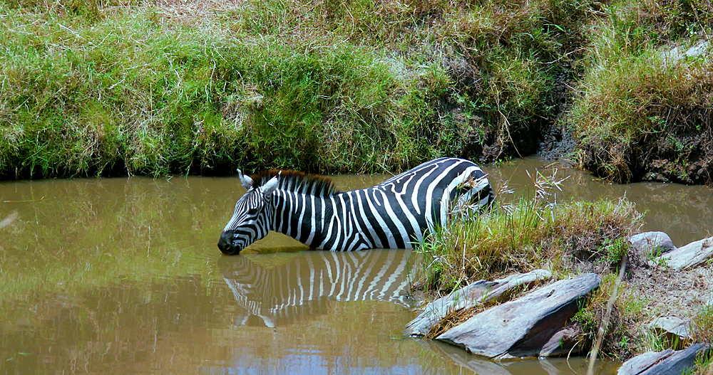 Burchell's Zebra Drinking, Maasai Mara, Kenya, Africa
