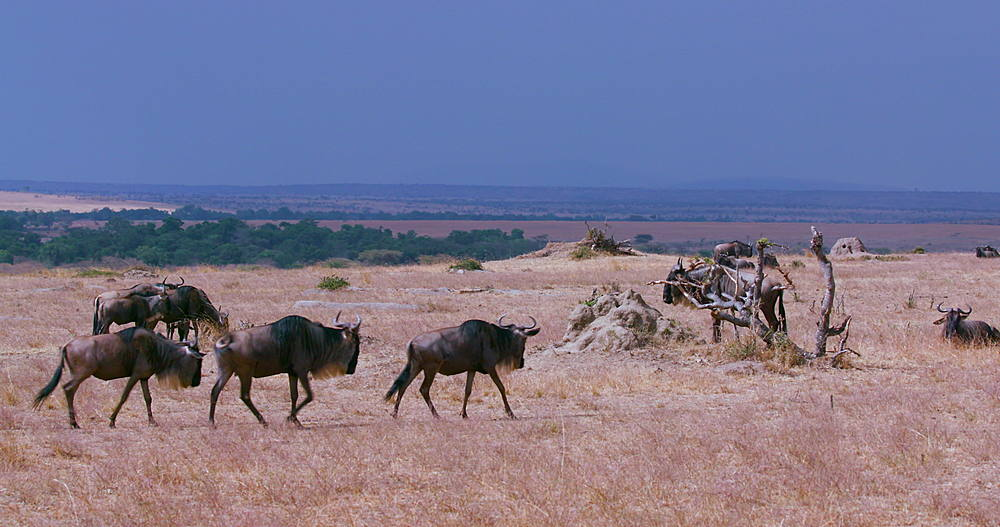 Blue Wildebeest Walking in Line On High Point, Maasai Mara National Reserve, Kenya, Africa