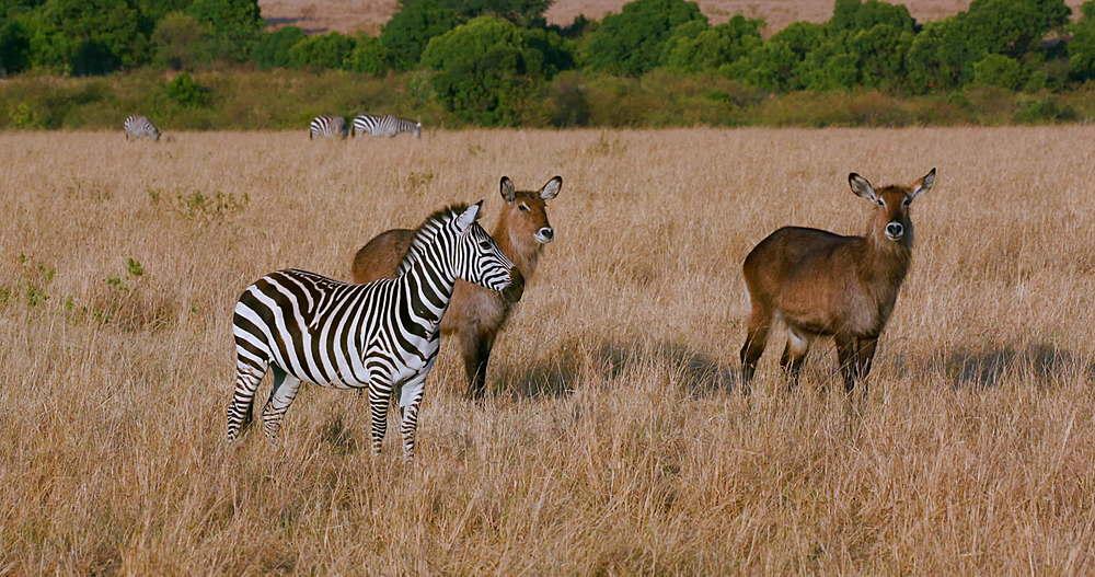 Burchell's Zebra & Young Female Waterbuck, Maasai Mara, Kenya, Africa