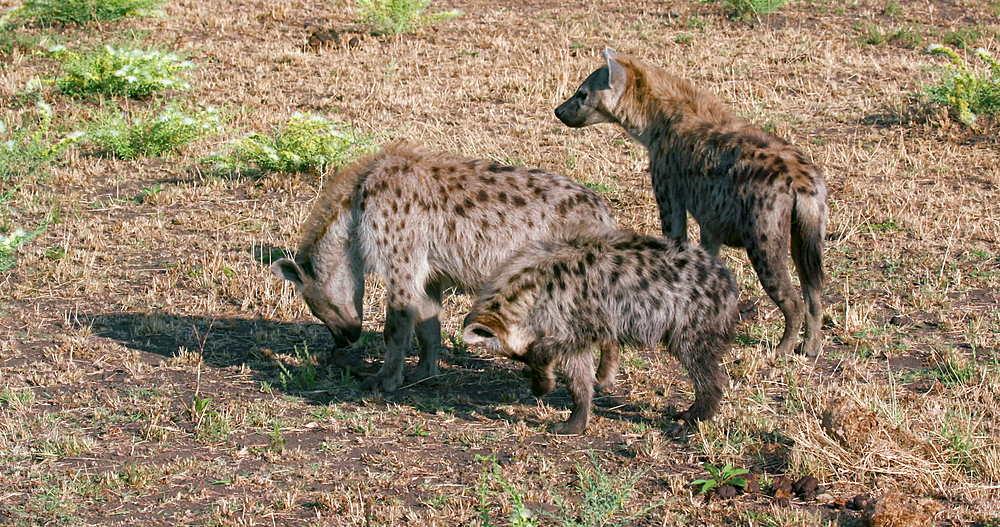 Group Of Spotted Hyenas, Maasai Mara, Kenya, Africa