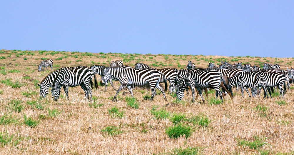 Herd Of Burchell's Zebra & Wildebeest, Maasai Mara, Kenya, Africa