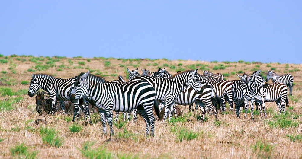 Herd Of Burchell's Zebra, Maasai Mara, Kenya, Africa