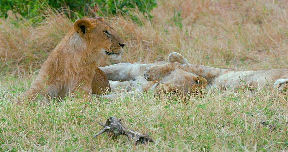 Two Young Lions In Grass, Maasai Mara, Kenya, Africa