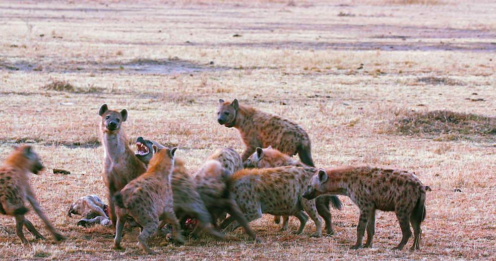 Spotted Hyenas with kill, Maasai Mara, Kenya, Africa