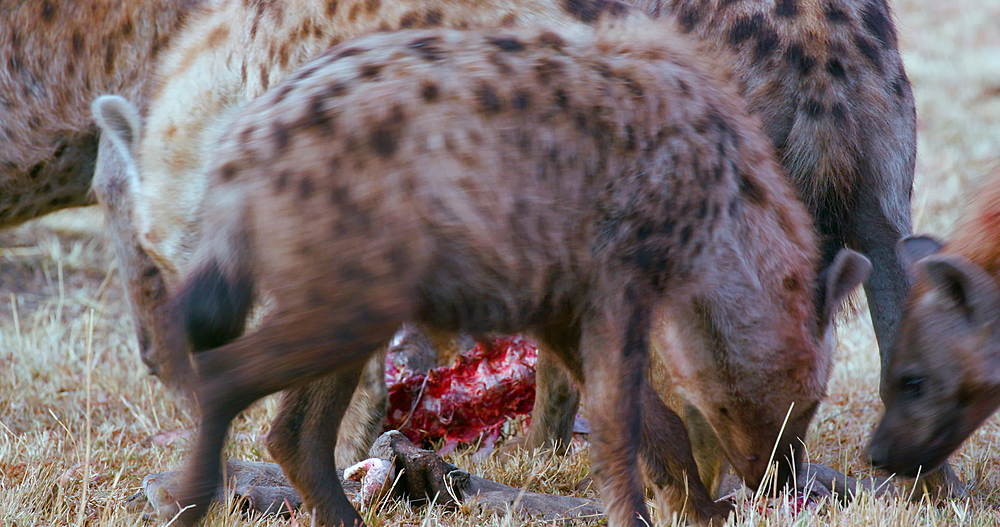 Spotted Hyenas with kill, Maasai Mara, Kenya, Africa