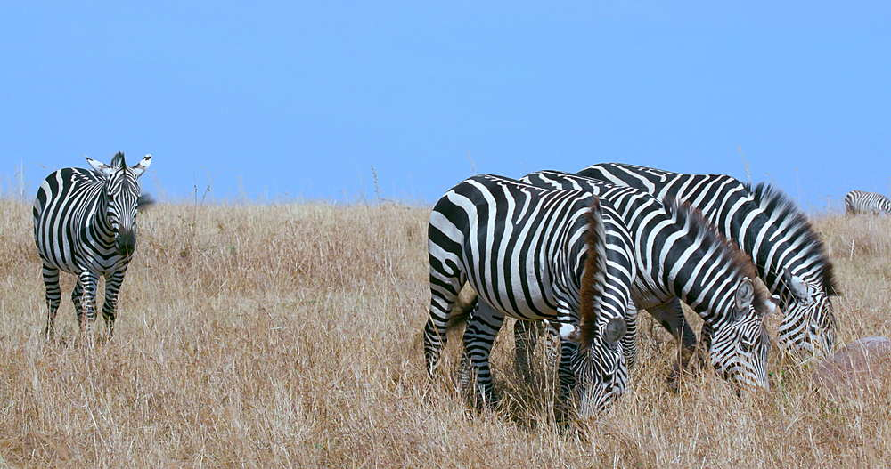 Burchell's Zebra grazing, Maasai Mara, Kenya, Africa