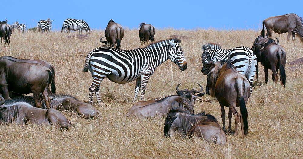 Burchell's Zebra & Blue Wildebeest grazing, Maasai Mara, Kenya, Africa