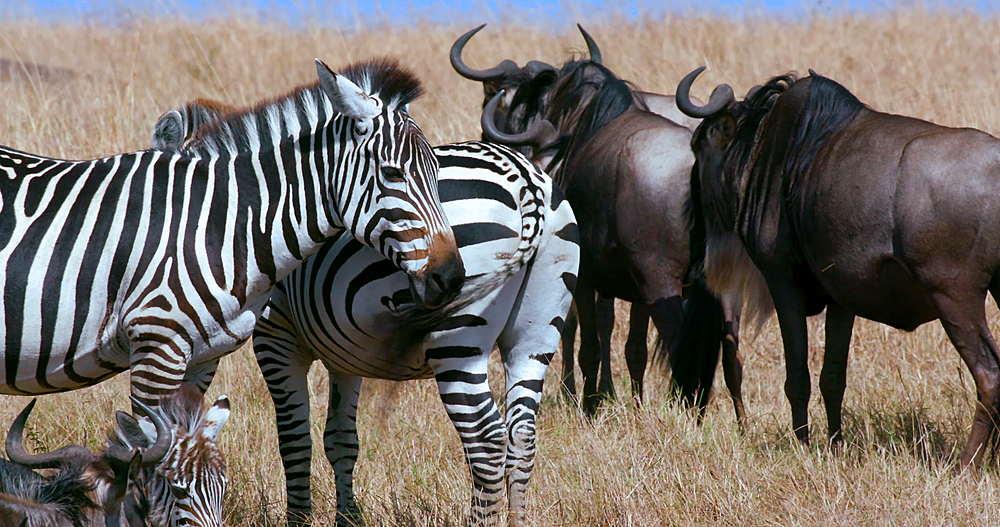 Burchell's Zebra & Blue Wildebeest stood, Maasai Mara, Kenya, Africa