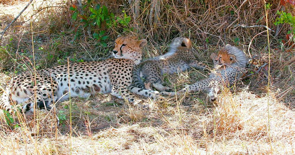 Female Cheetah & cubs, Maasai Mara, Kenya, Africa