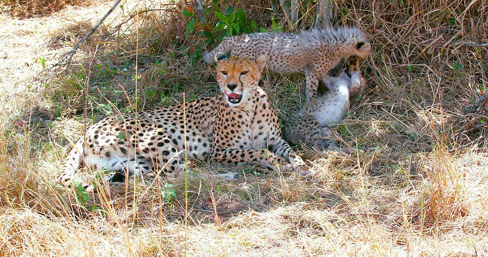 Female Cheetah & cubs playing, Maasai Mara, Kenya, Africa