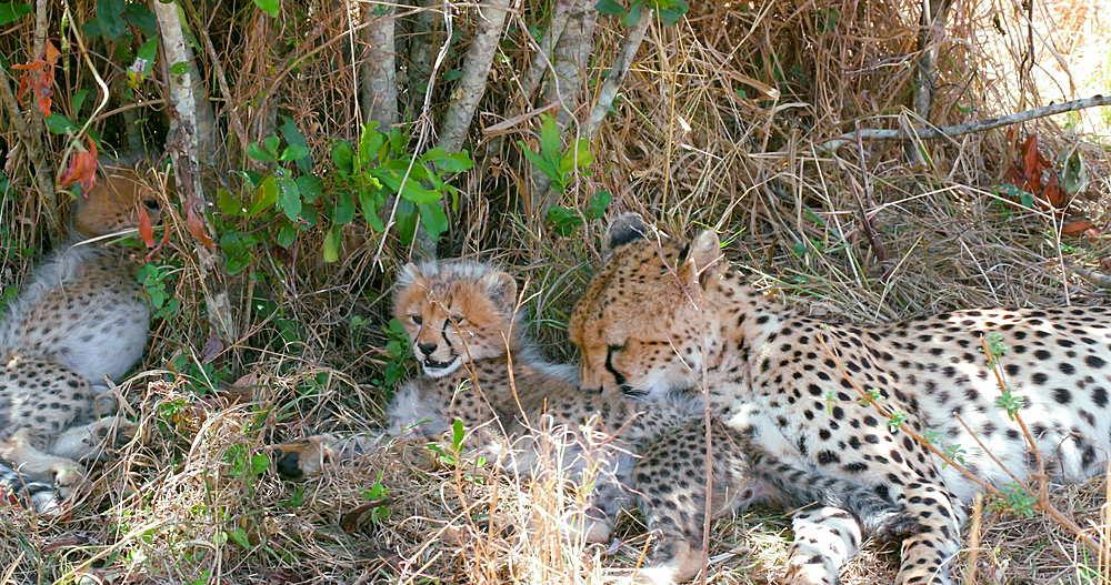 Female Cheetah grooming cub, Maasai Mara, Kenya, Africa
