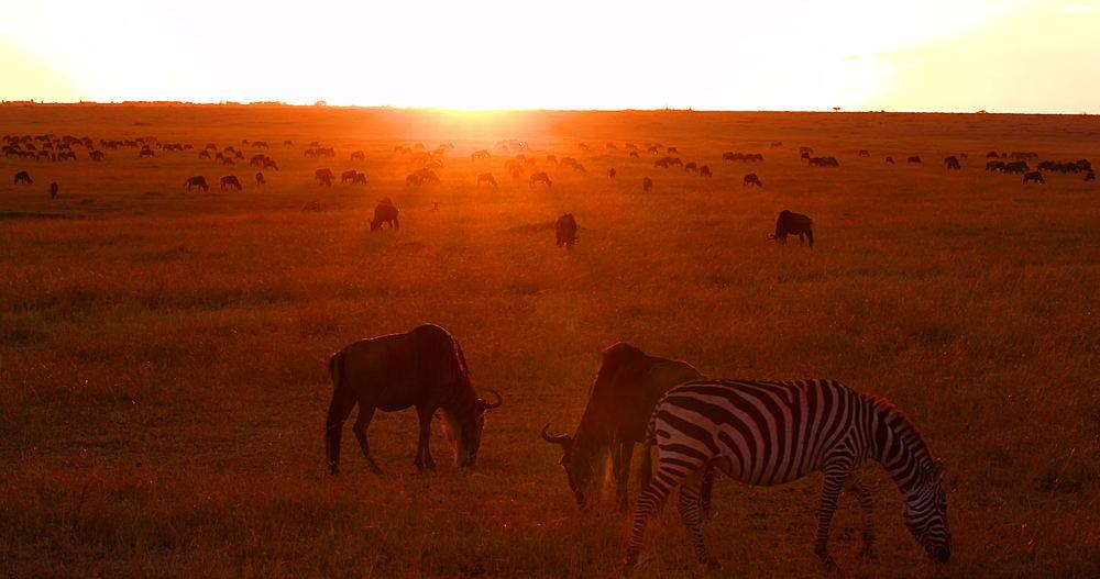 Blue Wildebeest & Burchell's Zebra At Sunrise, Maasai Mara, Kenya, Africa