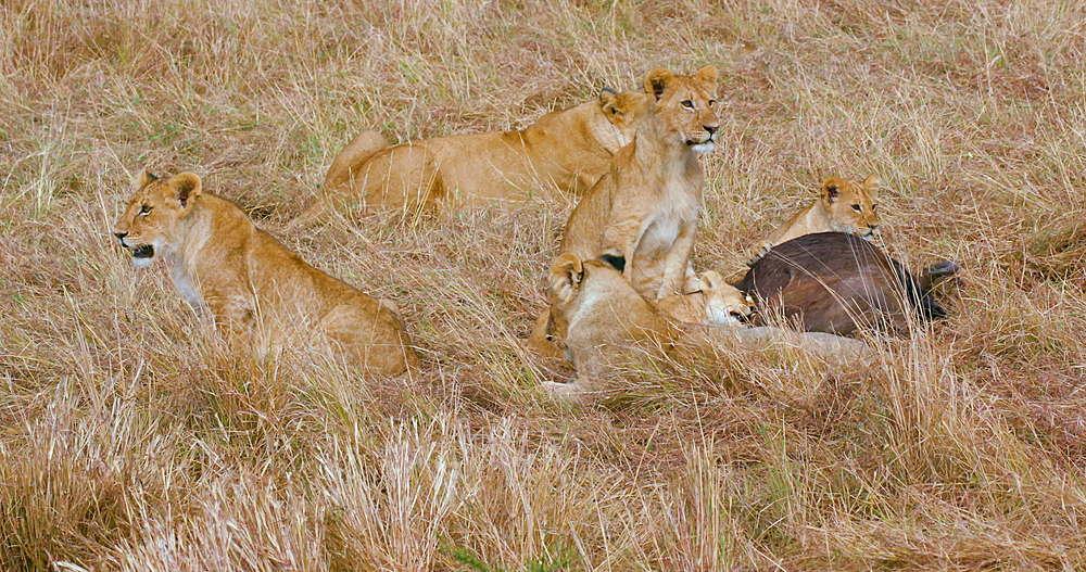 Lioness & Cub Sat In Grass, Maasai Mara, Kenya, Africa