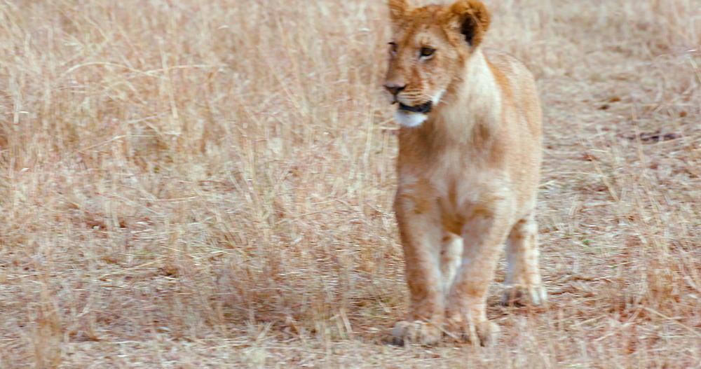 Lion Cub Walking On Track, Maasai Mara, Kenya, Africa
