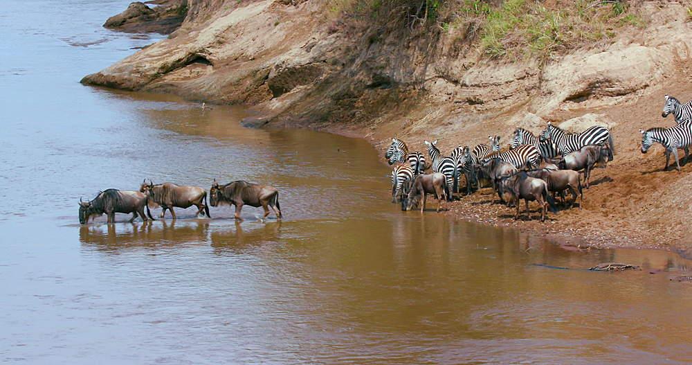 Burchell's Zebra & Blue Wildebeest At Mara River, Maasai Mara, Kenya, Africa