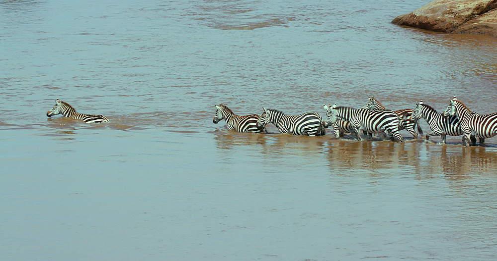 Burchell's Zebra Crossing Mara River, Maasai Mara, Kenya, Africa