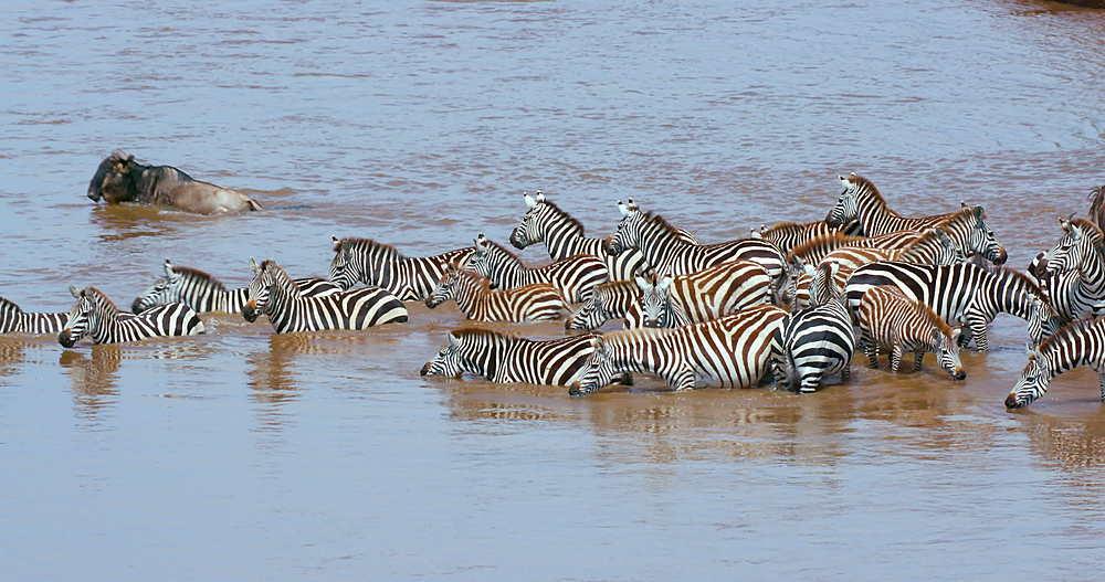 Burchell's Zebra & Blue Wildebeest Drinking In Mara River, Maasai Mara, Kenya, Africa