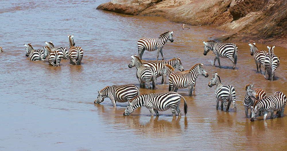 Burchell's Zebra & Blue Wildebeest In Mara River, Maasai Mara, Kenya, Africa