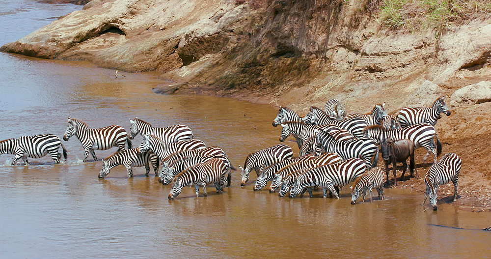 Burchell's Zebra Drinking In Mara River, Maasai Mara, Kenya, Africa