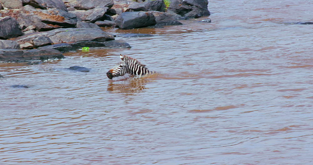 Burchell's Zebra Swimming In Mara River, Maasai Mara, Kenya, Africa