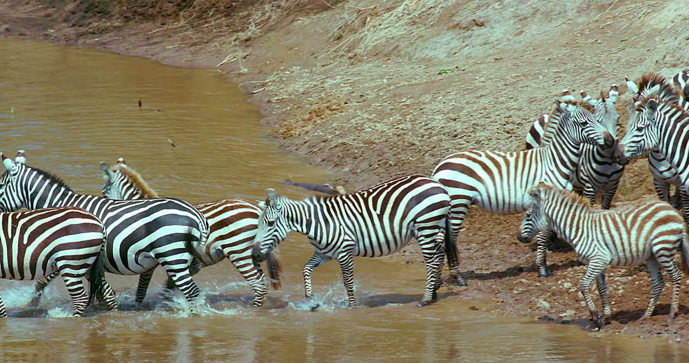 Burchell's Zebra In Mara River, Maasai Mara, Kenya, Africa