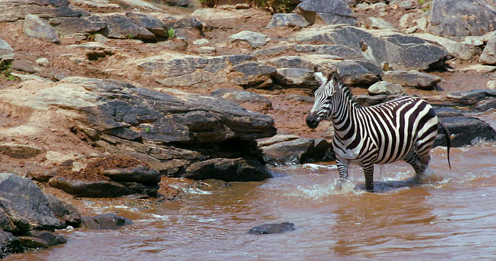 Burchell's Zebra & Foal Swimming In Mara River, Maasai Mara, Kenya, Africa