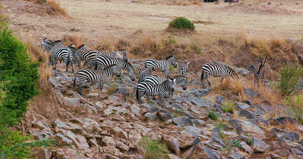 Burchell's Zebra Stood On Rocks, Maasai Mara, Kenya, Africa