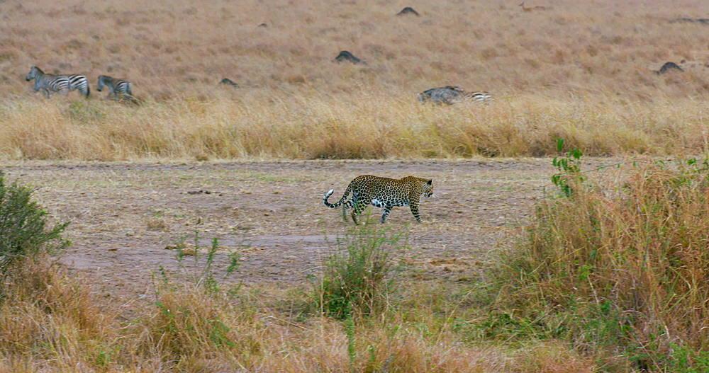 Leopard Walking On Track, Maasai Mara, Kenya, Africa