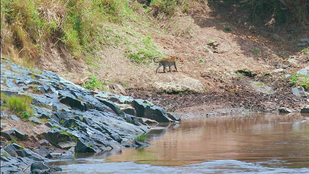 Leopard Walking Along River Bank, Maasai Mara, Kenya, Africa