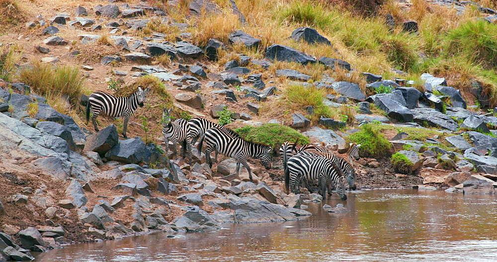 Burchell's Zebra Drinking In River, Maasai Mara, Kenya, Africa
