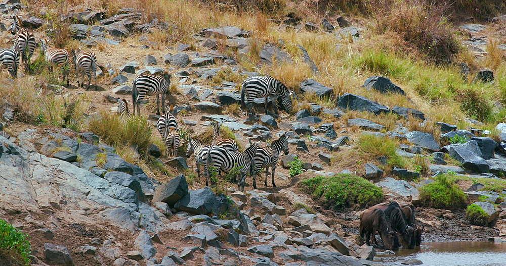Blue Wildebeest Drinking In River, Maasai Mara, Kenya, Africa