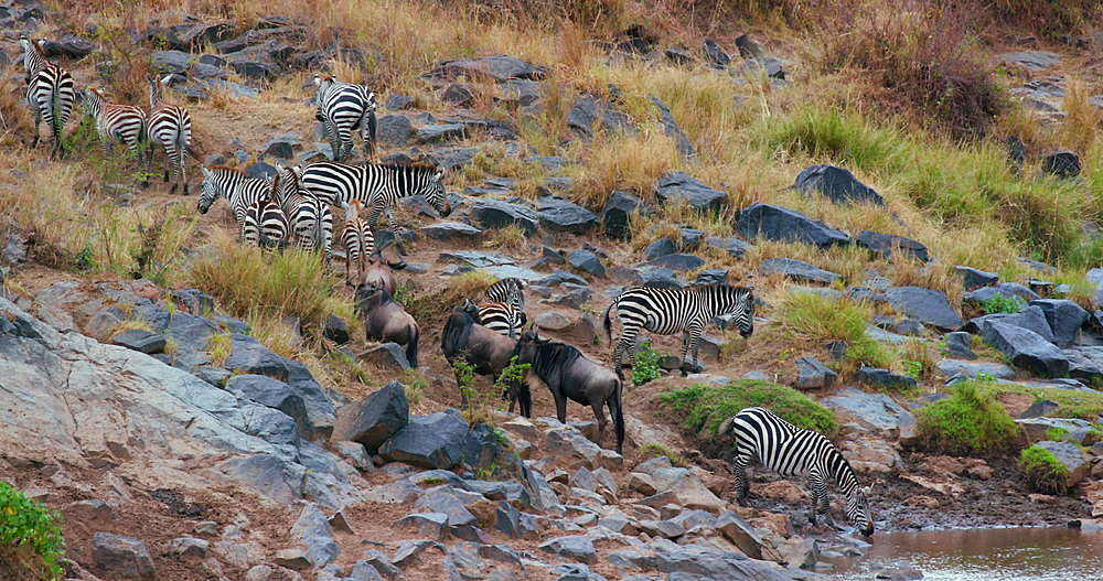 Burchell's Zebra Going To Drink In River, Maasai Mara, Kenya, Africa