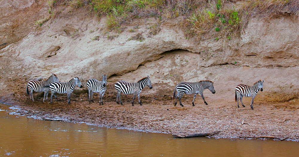 Burchell's Zebras On River Bank, Maasai Mara, Kenya, Africa