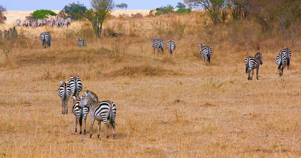 Burchell's Zebra's Walking, Maasai Mara, Kenya, Africa